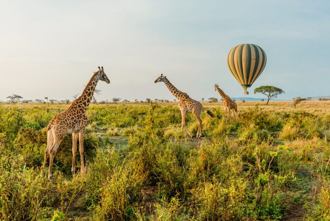 Giraffes standing in front of a passing Hot Air Balloon in The Serengeti in Serengeti National Park, Tanzania.