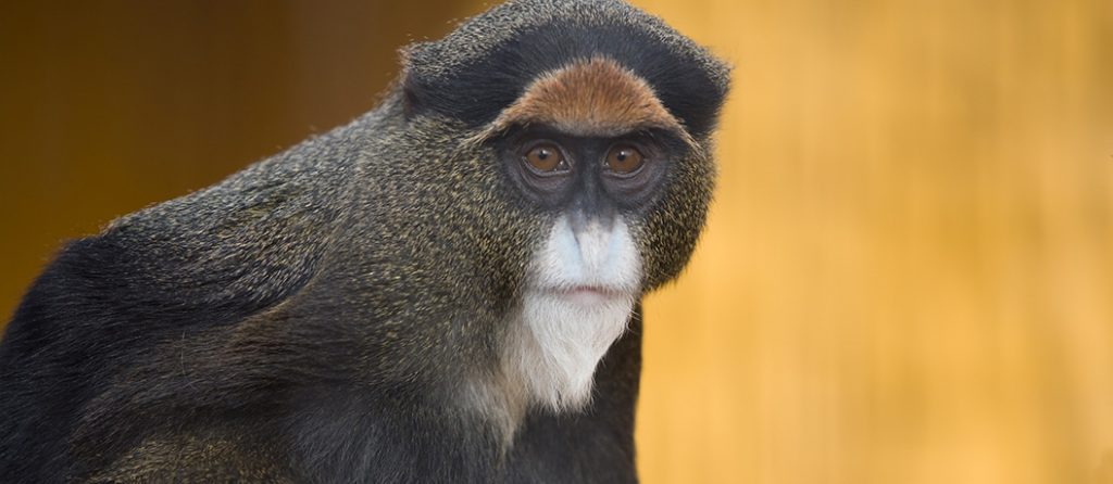 Most expensive pets – De Brazza's Monkey