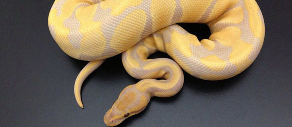 Most expensive pets – Lavender Albino Ball Python