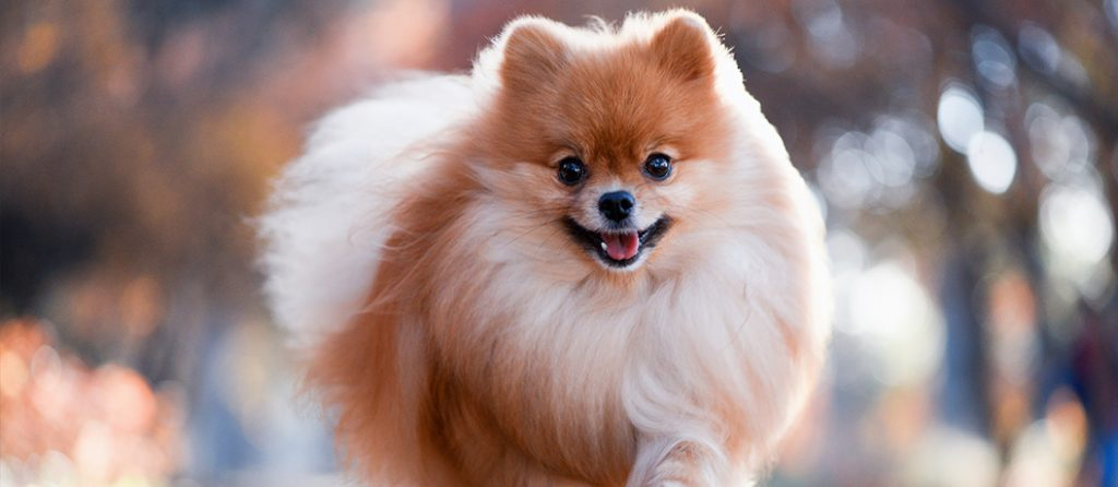 Most expensive pets – Mini Pomeranian