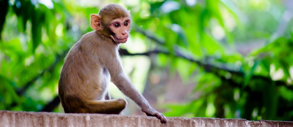 Most expensive pets - Rhesus Macaque