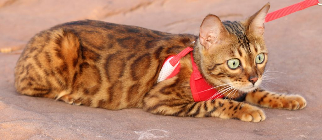 Most expensive pets – Savannah Cat