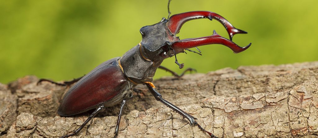 Most expensive pets – Stag Beetle