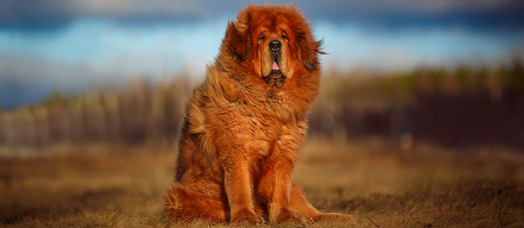 Most expensive pets – Tibetan Mastiff