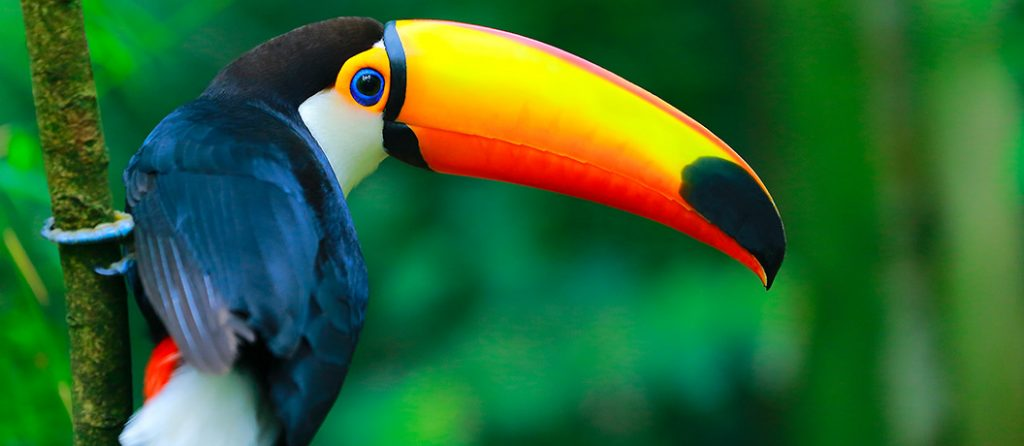 Most expensive pets – Toucan