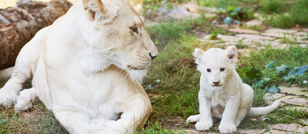 Most expensive pets – White Lion Cubs